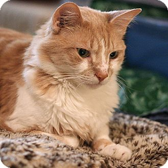 Domestic Mediumhair Cat for adoption in Columbia, Maryland - Cosmo