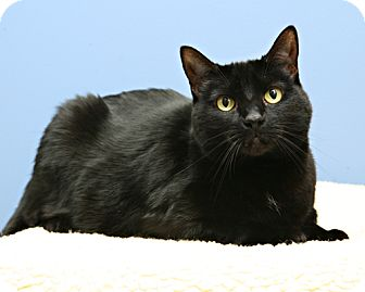 Domestic Shorthair Cat for adoption in Bellingham, Washington - Missy