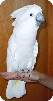 Cockatoo for adoption in Hubertus, Wisconsin - Louie