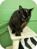 Domestic Longhair Cat for adoption in Okotoks, Alberta - Tomato