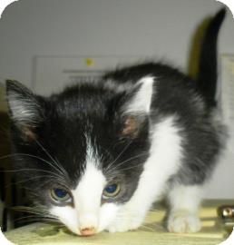 Domestic Mediumhair Kitten for adoption in Lincolnton, North Carolina - Scott