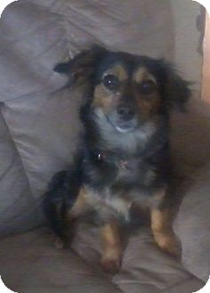Dachshund/Chihuahua Mix Dog for adoption in Houston, Texas - MATTIE
