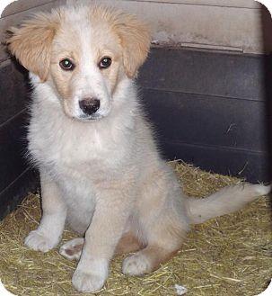 Labrador Retriever Mix Puppy for adoption in Oak Brook, Illinois - Rover