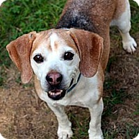 Adopt A Pet :: Bagel - Evansville, IN