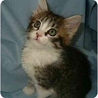 Adopt A Pet :: Daisy Puff - Keizer, OR