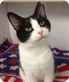 Domestic Shorthair Cat for adoption in Fairfax, Virginia - Daphne Dot