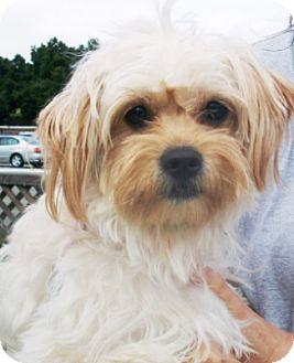 Yorkie, Yorkshire Terrier/Maltese Mix Dog for adoption in Castro Valley, California - Pita