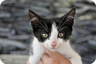 Domestic Shorthair Kitten for adoption in Evans, Georgia - Walkie Talkie