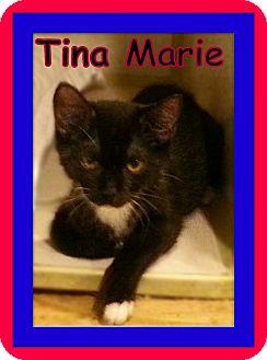 Domestic Shorthair Kitten for adoption in Trevose, Pennsylvania - Tina Marie