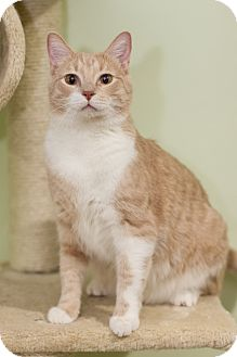 Domestic Shorthair Cat for adoption in Chicago, Illinois - Romeo