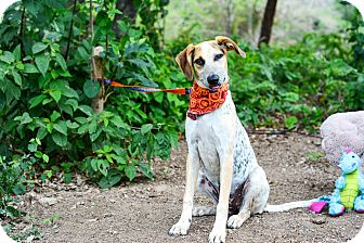 Labrador Retriever/Pointer Mix Dog for adoption in Vancouver, British Columbia - Pinta
