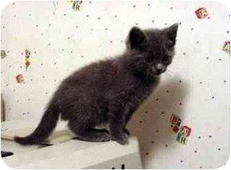 Domestic Shorthair Cat for adoption in Colorado Springs, Colorado - Stormy