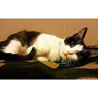 Domestic Shorthair Cat for adoption in THORNHILL, Ontario - Burger