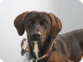 Vizsla/Weimaraner Mix Dog for adoption in Fort Lupton, Colorado - Tumbelena