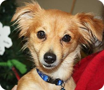 Chihuahua Mix Dog for adoption in Cottageville, West Virginia - Cyndi Lou