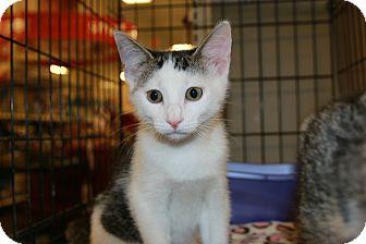 Domestic Shorthair Kitten for adoption in Rochester, Minnesota - Captain