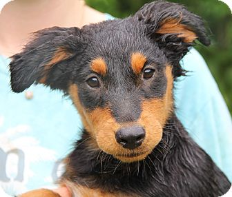 Golden Retriever/Border Collie Mix Puppy for adoption in Minnetonka, Minnesota - CASEY - oh my goodness!