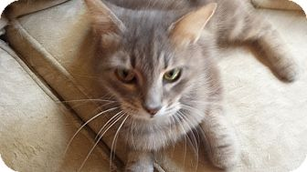 Domestic Longhair Cat for adoption in Tampa, Florida - Elena