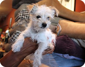 Terrier (Unknown Type, Small) Mix Puppy for adoption in Los Angeles, California - Tater Tot