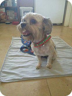 Shih Tzu/Poodle (Miniature) Mix Dog for adoption in Gustine, California - LONDYN