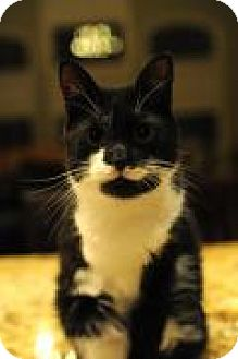Domestic Shorthair Cat for adoption in Breinigsville, Pennsylvania - Trip