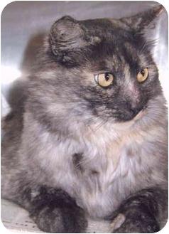 Domestic Mediumhair Cat for adoption in Grass Valley, California - Catobella