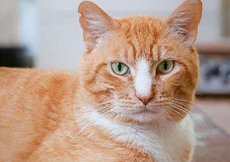 Domestic Shorthair Cat for adoption in Santa Rosa, California - Marley