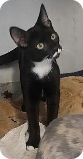 Domestic Shorthair Cat for adoption in Concord, Ohio - Pierre