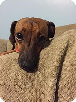 Chihuahua/Dachshund Mix Dog for adoption in Ashville, Ohio - Lucy Chiweenie