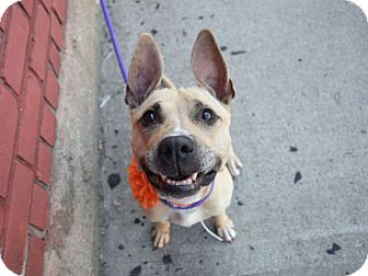 American Pit Bull Terrier/American Staffordshire Terrier Mix Dog for adoption in Broadway, New Jersey - Pepper