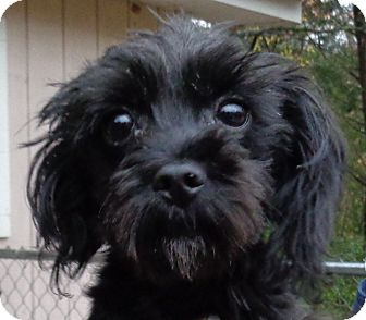 Yorkie, Yorkshire Terrier/Miniature Poodle Mix Dog for adoption in Crump, Tennessee - Pierre