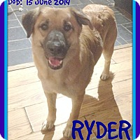German Shepherd Dog/Golden Retriever Mix Dog for adoption in Albany, New York - RYDER