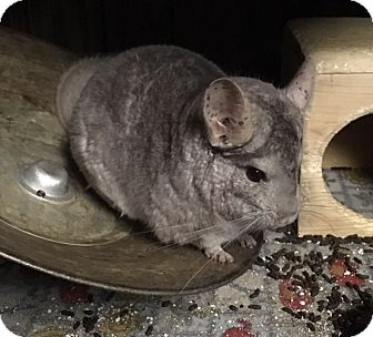 Chinchilla for adoption in Hammond, Indiana - Tikii