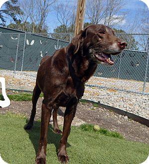 Labrador Retriever Dog for adoption in Annapolis, Maryland - Ashton