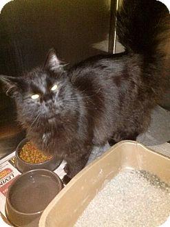 Maine Coon Kitten for adoption in Northfield, Ohio - Misty