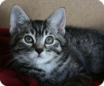 Domestic Shorthair Kitten for adoption in Canoga Park, California - Tuitii Fruiti