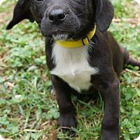 Adopt A Pet :: Pollyanna - West Nyack, NY