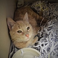 Domestic Mediumhair Cat for adoption in Pottsville, Pennsylvania - Chloe