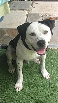 Pointer/Pit Bull Terrier Mix Dog for adoption in Mobile, Alabama - Max