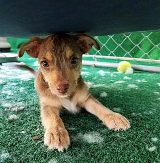 Terrier (Unknown Type, Medium)/Chihuahua Mix Puppy for adoption in San Antonio, Texas - Madonna