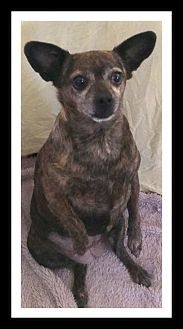 Chihuahua Mix Dog for adoption in Winchester, California - CHICA