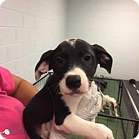 Adopt A Pet :: Tommy - Woodstock, GA