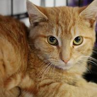 Domestic Shorthair/Domestic Shorthair Mix Cat for adoption in Huntingdon, Pennsylvania - Sunny
