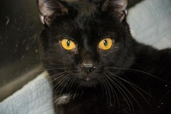 Domestic Shorthair/Domestic Shorthair Mix Cat for adoption in Pendleton, Oregon - Eclipse
