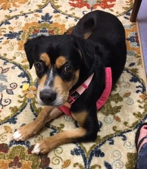 Basset Hound Mix Dog for adoption in Irmo, South Carolina - Mercury
