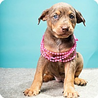 Adopt A Pet :: Kir - Houston, TX