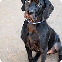 Adopt A Pet :: Dozer - Mesa, AZ