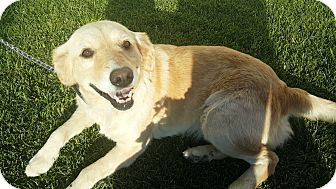 Golden Retriever Dog for adoption in Washington, D.C. - Daisy