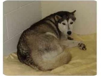 Siberian Husky Dog for adoption in Huntingdon, Pennsylvania - Nanook