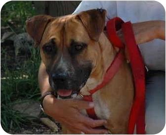 Boxer/Mastiff Mix Dog for adoption in Lakewood, Colorado - Downtown Brown